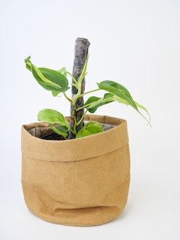 Beautiful philodendron hederaceum brasil tri colour leaves houseplants in brown recycled paper pot isolated on white background