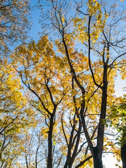 Beautiful photo of autumn trees covered in yellow and red leaves in forest against bright blue sky