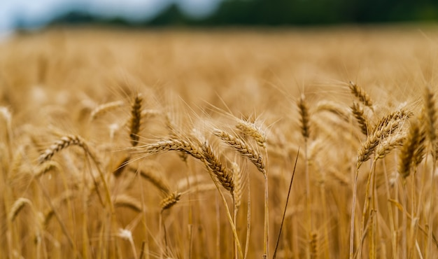 日差しの中で乾燥小麦の美しい写真。背景がぼやけている。風景の中の金と青の色。