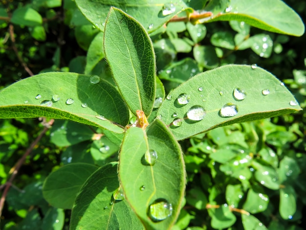 Beautiful photo with drops water on green leaves. lilac.
