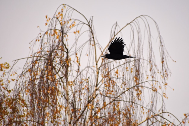 Beautiful picture of a bird - raven / crow in autumn nature. (corvus frugilegus)