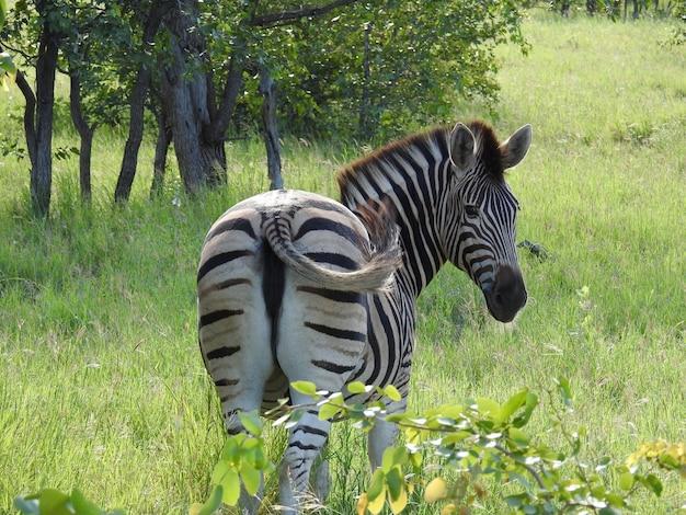 남아프리카 공화국의 들판에 있는 얼룩말의 아름다운 사진