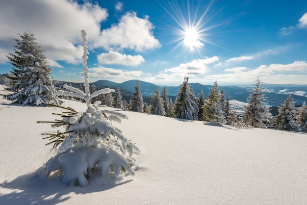 Beautiful picturesque landscape little snowy fir trees grow on a snowy hill against the backdrop of mountains