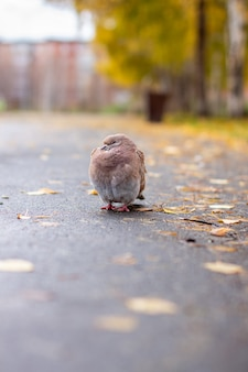 Beautiful pigeon brown and white coloring on asphalt in urban environment in autumn. autumn leave.