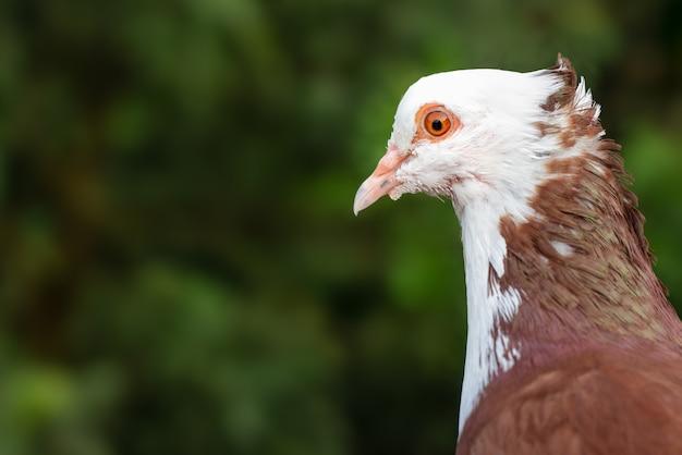 아름 다운 비둘기 얼굴 녹색 bokeh 배경으로 가까이 봐