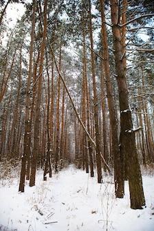 서리가 내린 날에 아름다운 소나무 숲. 소나무로 만든 터널. 태양 광선은 겨울 숲의 나무를 통과합니다.