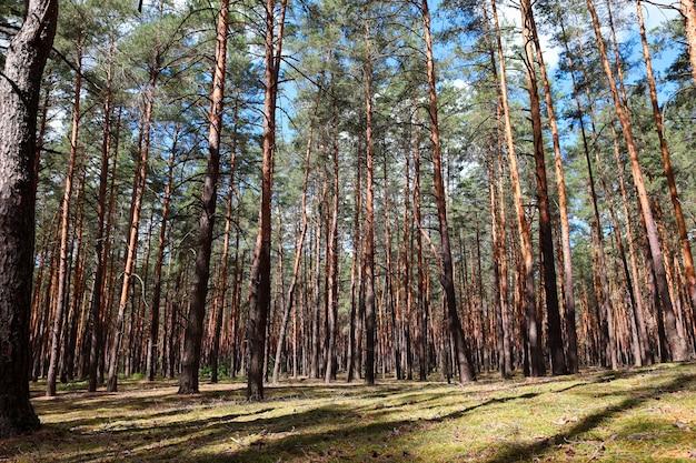 美しい松林の滑らかな柱の木が列をなして成長します