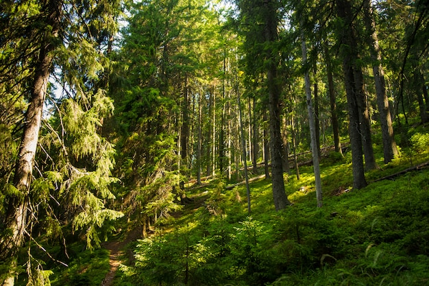 山の美しい松の木