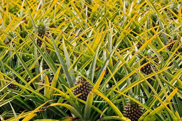昼間の南アフリカ共和国の美しいパイナップル工場