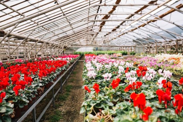 온실에서 자라는 아름다운 분홍색과 붉은 꽃