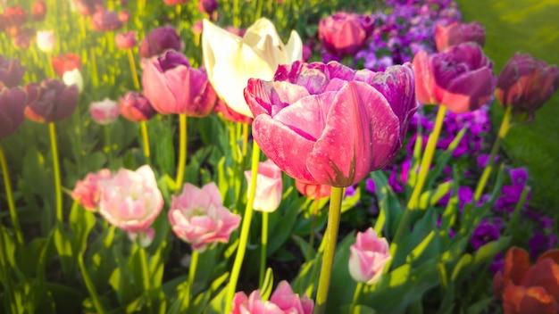 早朝の美しいピンクと白のチューリップ