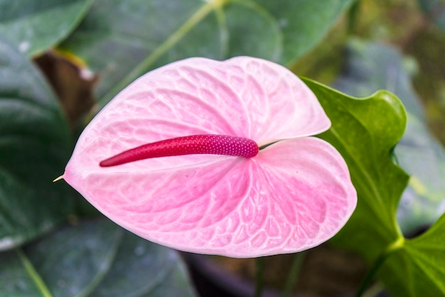 Beautiful pink anthurium flower on leaves background. tropical plant.