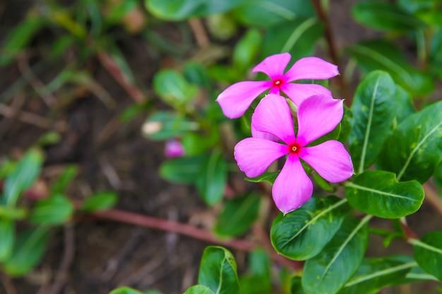 Beautiful pink apocynaceae blurred background