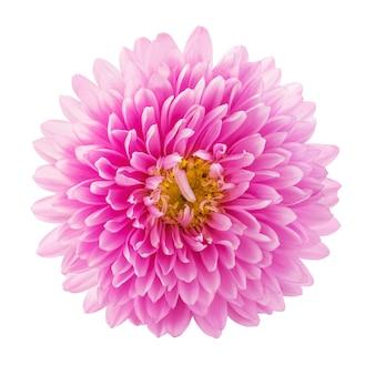 白い背景の上面図に分離された美しいピンクのアスターの花