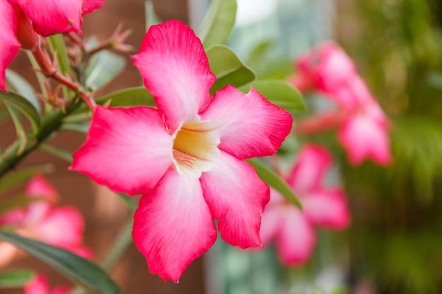 Beautiful pink azalea flowers tropical flowers