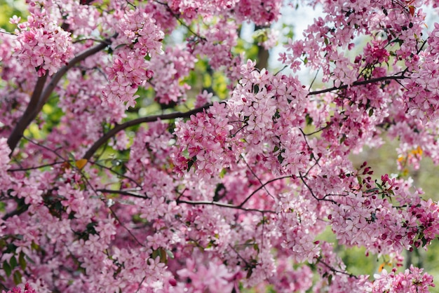 Beautiful, pink blooming apple tree in the spring garden. agricultural industry.