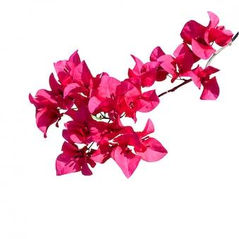 Beautiful pink bougainvillea flowers