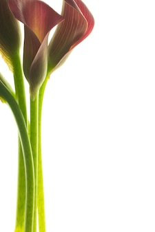 Красивые розовые лилии каллы на белом фоне.