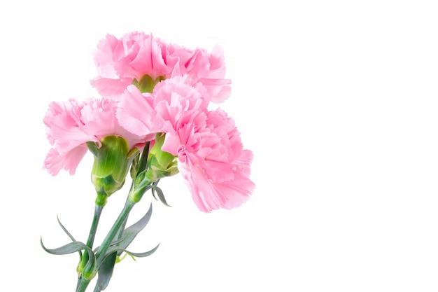 Beautiful pink carnation flowers on white background