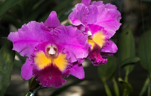美しいピンクcattleyaの蘭の花