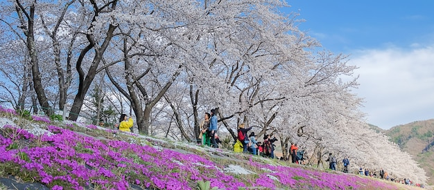 Beautiful pink cherry blossom blooming at kawaguchiko lake