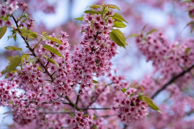 Beautiful pink cherry blossom flowers (thai sakura) blooming in winter season