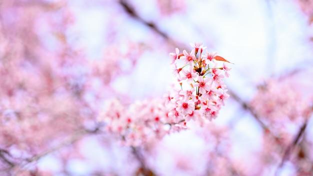 Красивый розовый вишневый цвет или цветок сакуры, цветущий в голубом небе на природе