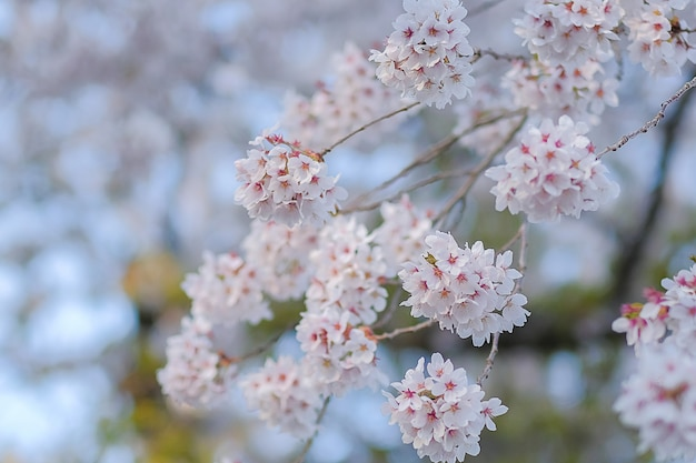 Beautiful pink cherry blossom or sakura blooming in the garden