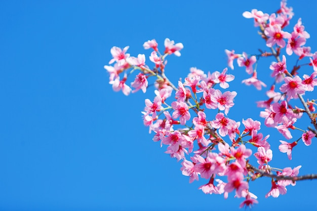 Beautiful pink cherry blossom with blue sky