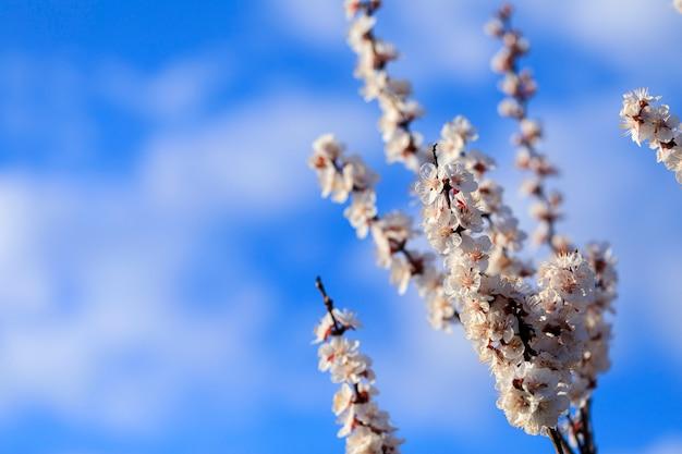柔らかい背景にパステルトーンの使用でピンクのボケ味を持つ枝に咲く美しいピンクの桜や桜の花をクローズアップ