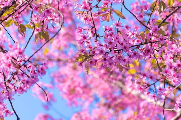 Beautiful of pink cherry flowers pink sakura thailand loei province phu lom
