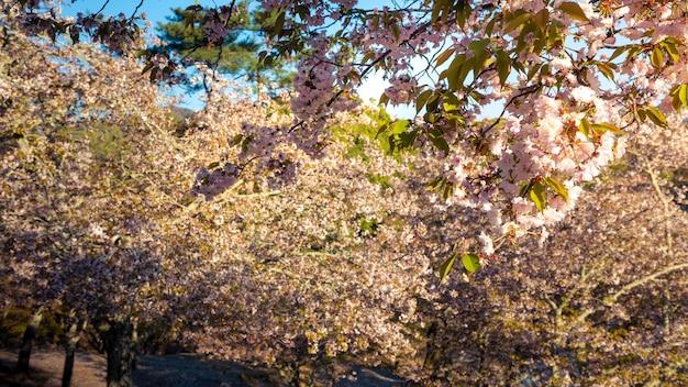 自然の風景を贅沢に咲かせる美しいピンクの桜。奈良の公園に見事な桜の枝がある日本の田舎の春の風景。