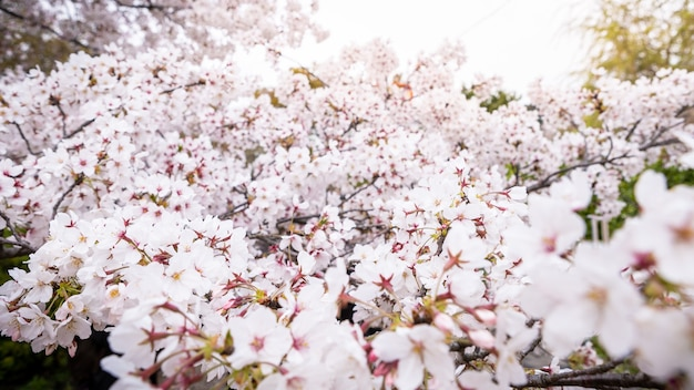 自然の風景を贅沢に咲かせる美しいピンクの桜。東京の公園で素晴らしい桜の枝と日本の田舎の春の風景。