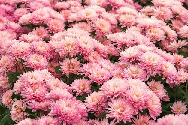 Beautiful pink chrysanthemum flower for nature design background.