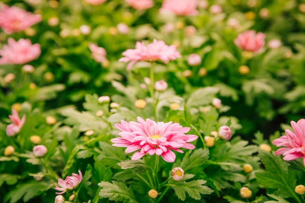 Beautiful pink chrysanthemum flowers in the garden