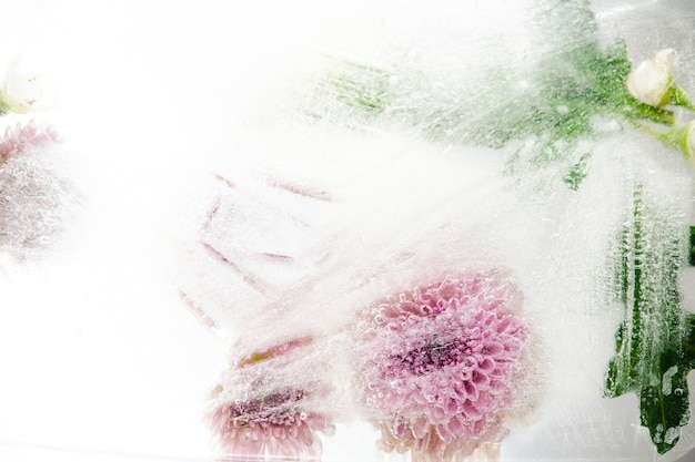 Beautiful pink chrysanthemum flowers and leaves frozen in ice with air bubbles