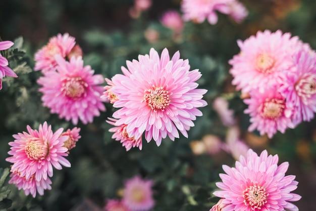 美しいピンクの菊。