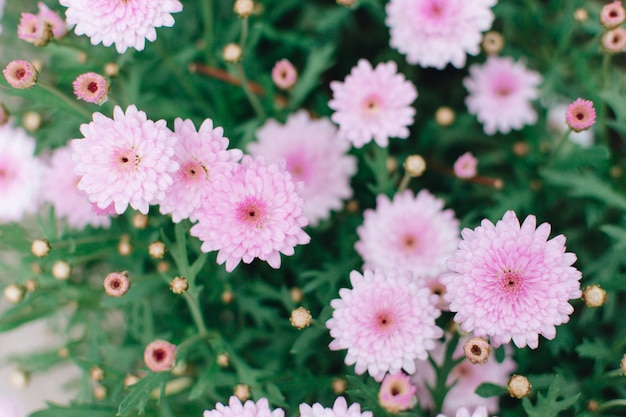 Beautiful pink chrysanthemum