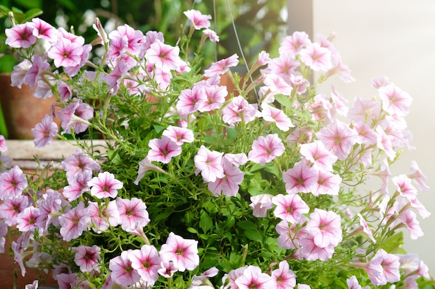 Beautiful pink colored petunias flowers with sunlight in the garden. petunia flowers in the garden.