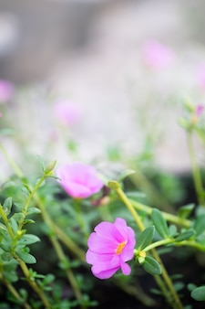 Beautiful pink common purslane, verdolaga or pigweed, little hogweed in graden.
