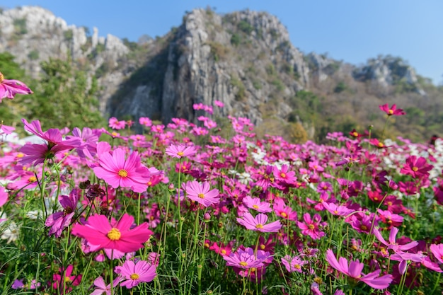 Beautiful pink cosmos field with  limestone mountains