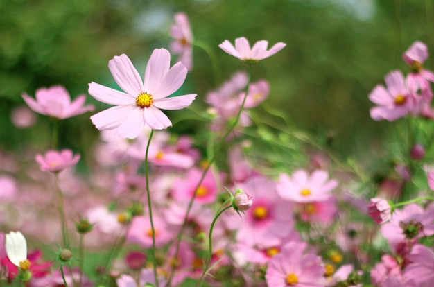 Beautiful pink cosmos flower blooming in the garden with blurred.
