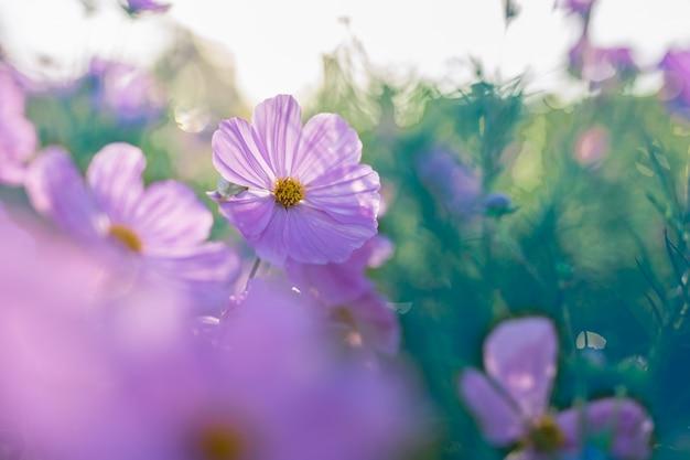 Красивый розовый цветок космоса зацветая в саде с светом утра.