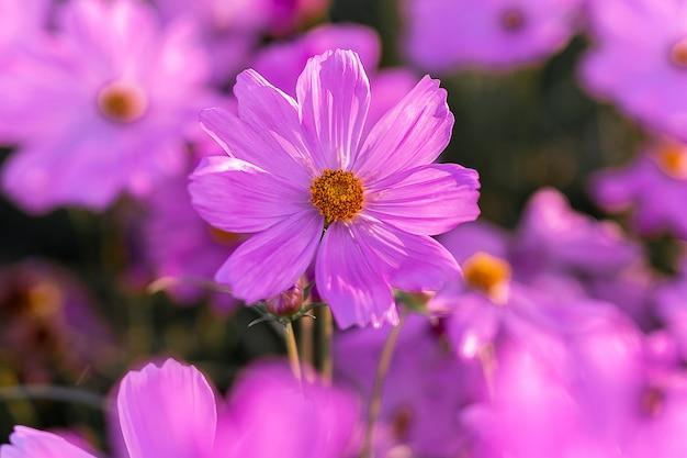 Красивый розовый цветок космоса зацветая в саде.
