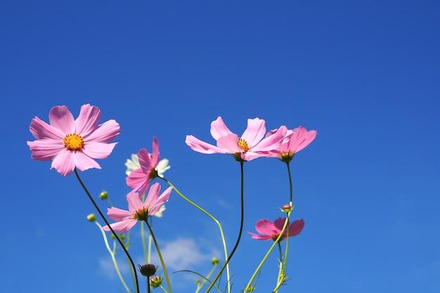 푸른 하늘 배경에 아름 다운 핑크 코스모스 꽃