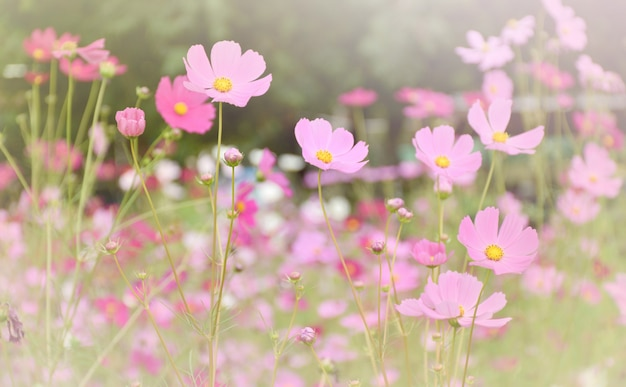 Beautiful pink cosmos flower with blue sky background.