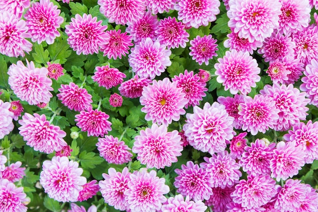 Beautiful pink dahlia for background