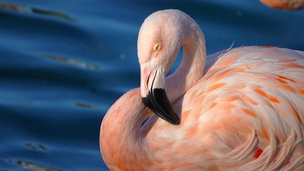 Красивый розовый фламинго плавает в пруду под лучами солнца