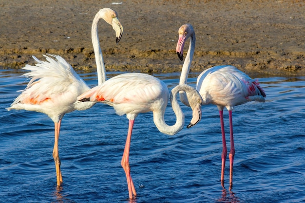 Beautiful pink flamingos walking around the lagoon and looking for food
