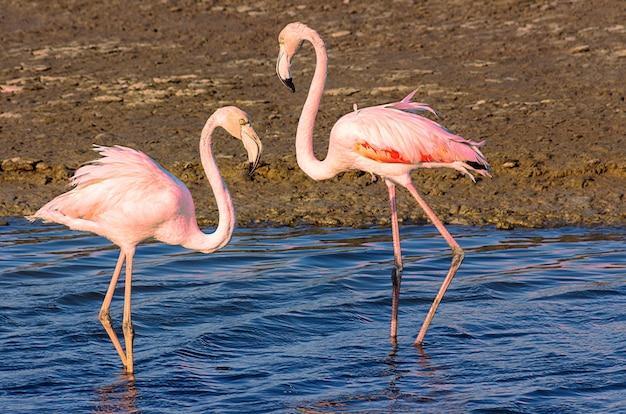 Красивые розовые фламинго гуляют по лагуне в поисках еды